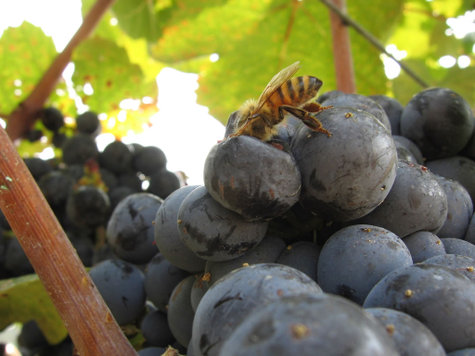 Bee_on_mourvedre